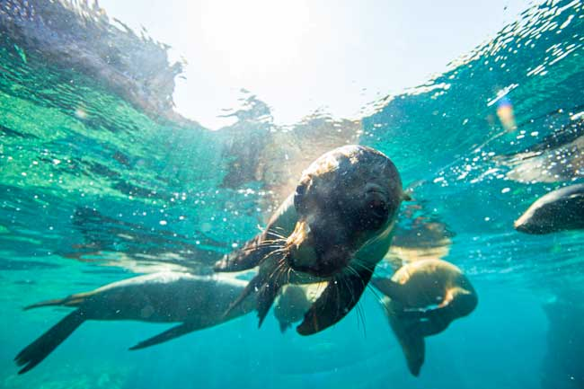 Snorkeling with sea lions in the Sea of Cortez.
