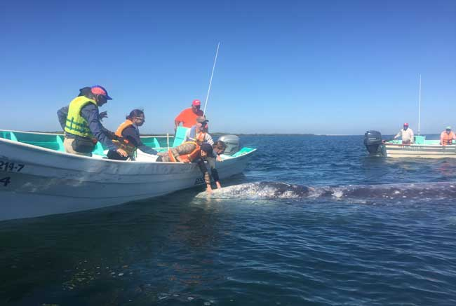 Gray whales in Magdalena Bay in the Sea of Cortez. Photo by Janna Graber